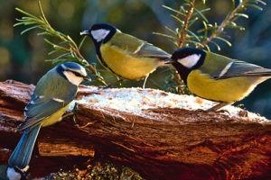 Už jsou finální výsledky sčítání ptáku – hádejte, kdo vyhrál