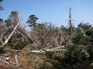Dřeviny východní Asie se dokáží vyrovnat s posunem tropických cyklónů