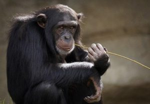Šimpanzi z Hodonína se propojili videopřenosem s protějšky ve dvoře králové
