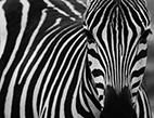 Zoo v Liberci a Dvoře Králové budou zachraňovat zebry bezhřívé