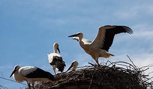 Čáp v Chomutově postavil hnízdo z podprsenek, stal se populárním