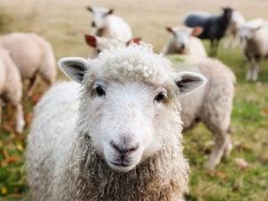 Titul Podnikavá hlava letos získal projekt evidence pro chovatele stád