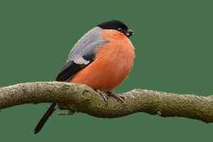 Čím se řídí výška ptačího zpěvu? Větší znamená hlubší, hlubší znamená víc sexy