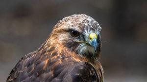 Ptákem roku 2021 je káně lesní, přehlížený dravec v Česku