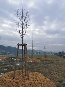 Miliontý strom roste v Halenkově