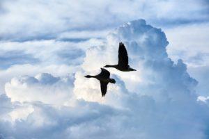 U volně žijících ptáků se chřipka potvrdila na Moravě i v Praze