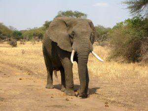 Vědci počítají populaci afrických slonů díky snímkům z družice