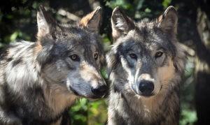 Hradecký kraj zřídil komisi pro řešení problémů kolem vlků