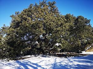 Dub čarodějnic ze Španělska je Evropský strom roku