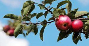 Dobrovolníci se v Pardubicích činili – vysázeli ovocný sad