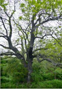 Jasan ztepilý z Pardubic – bude stromem roku, nebo bude pokácený kvůli obchodnímu centru?