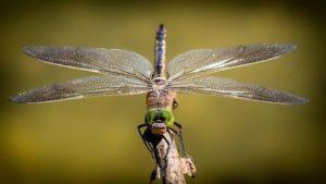 U Valašských Klobouk našel domov ohrožený druh vážky