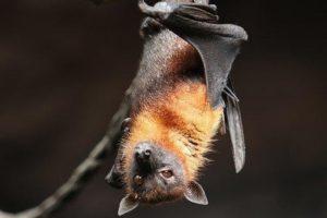 Ornitologové pořádají vycházky za rorýsy i netopýry