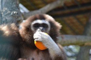 V hodonínské zoo se narodilo mládě opice gibona lara