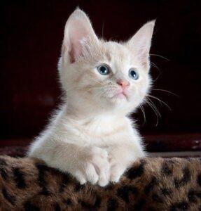 Během pandemie lidé adoptovali kočky, útulky ale budou brzy zase plné