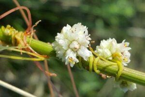 Botanik objevil na Pálavě rostlinu, kterou odborníci považovali za vyhynulou