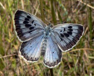 Entomologové dělají na Vsetínsku výzkum výskytu Modráska Černoskvrnného