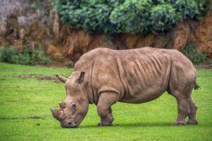 Vědci vytvořili další tři embrya ohrožených nosorožců, mají jich celkem 12