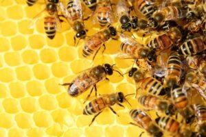 Včelám z úlů rozmístěných na střechách městských budov v Plzni se letos daří