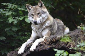 Vlci se vrací do Beskyd, letos na jaře přivedli na svět vlčata