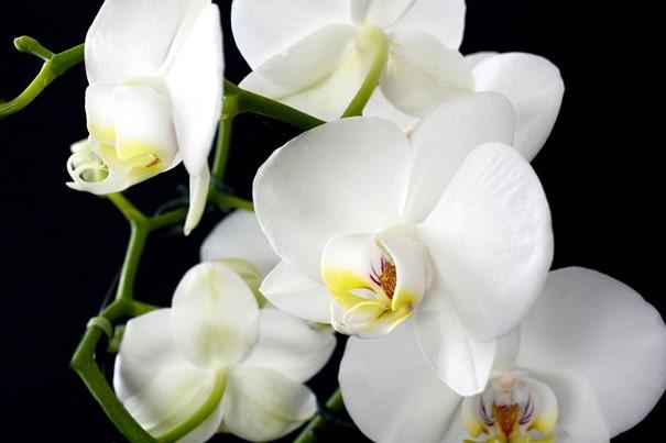 Ve skleníku Fata Morgana bude od čtvrtka k vidění asi 650 orchidejí